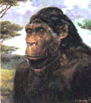 the evolutionary relationship between australopithecus africanus and homo exectus A suite of morphological and behavioral traits once considered to define the origin of the genus homo or of earliest h erectus evolved not as an integrated package but over a prolonged time frame that encompassed species of australopithecus, early homo, h erectus, and later homo.
